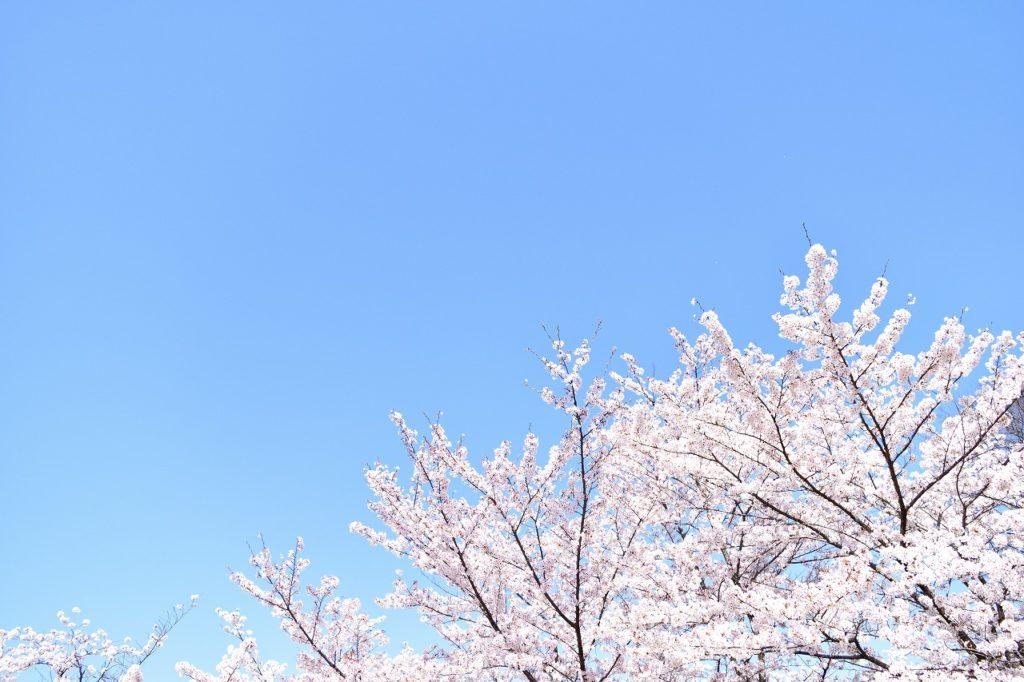 桜 開花予想 2020年