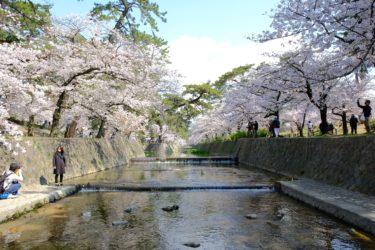 さくらの名所『さくら夙川河川敷』は今が満開で見頃を迎えてます!