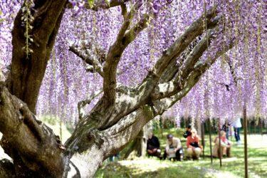 兵庫県有数の「藤」の名所「白毫寺」。