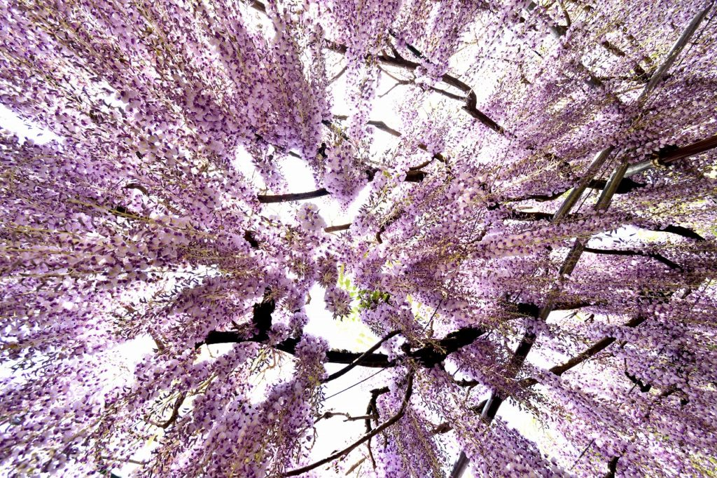 白毫寺の藤の花