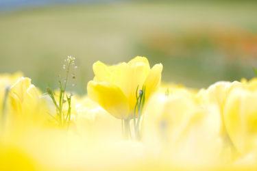 チューリップやネモフィラなど「淡路島国営明石海峡公園」は花を撮るには最適なスポット