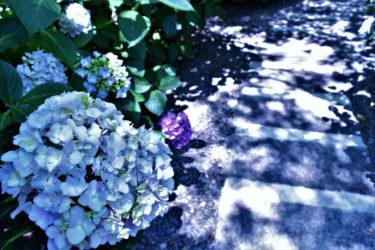 もうすぐ紫陽花の季節だね。
