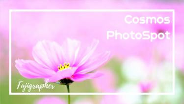 秋の花、秋桜(コスモス)|ひまわりの丘公園