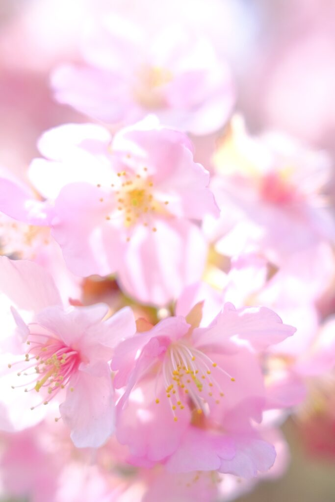 京都 淀の河津桜