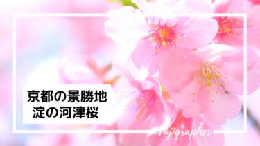 京都の景勝地「淀の河津桜」