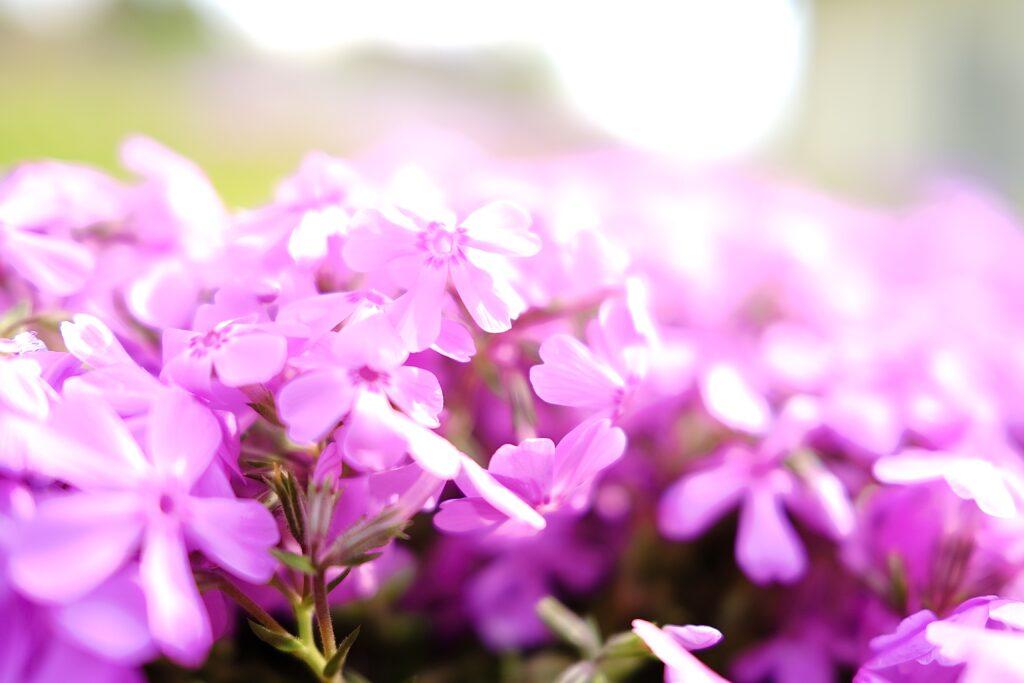 芝桜 おかやまフォレストパーク