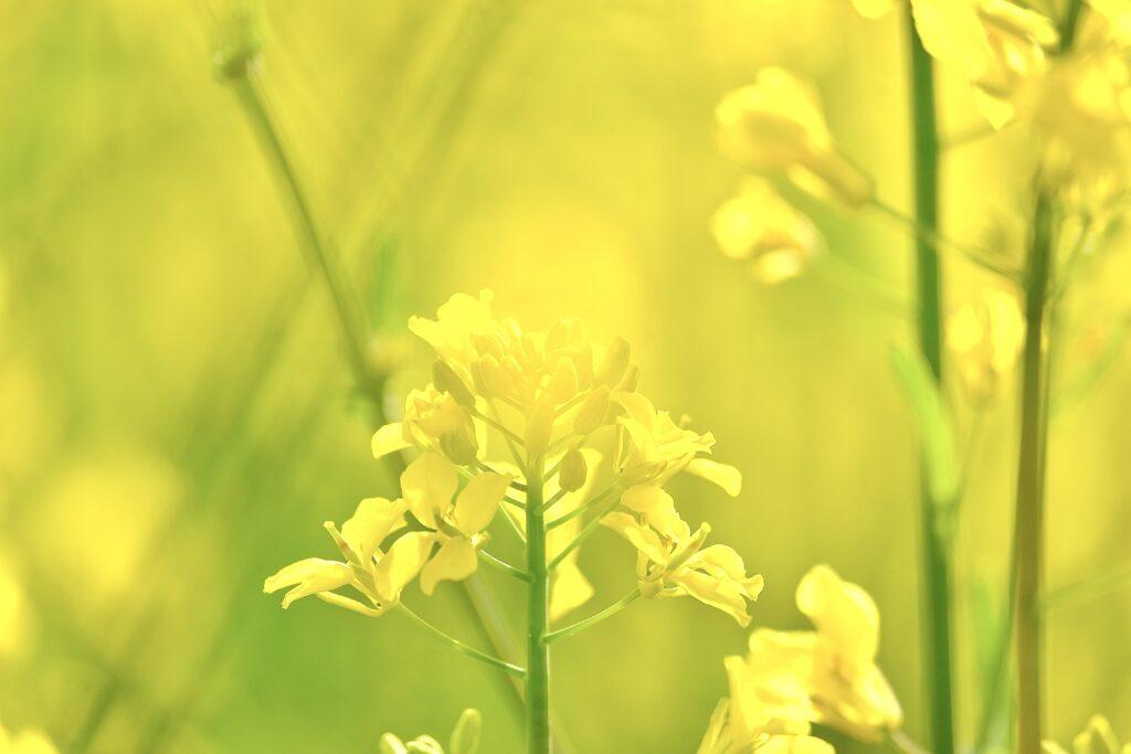 菜の花 おかやまフォレストパーク
