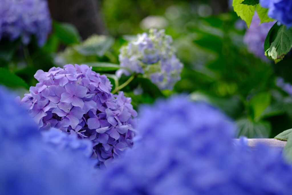 頼光寺 紫陽花園