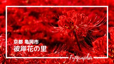 【写真スポット】関西屈指のスポット『彼岸花の里』|京都亀岡市